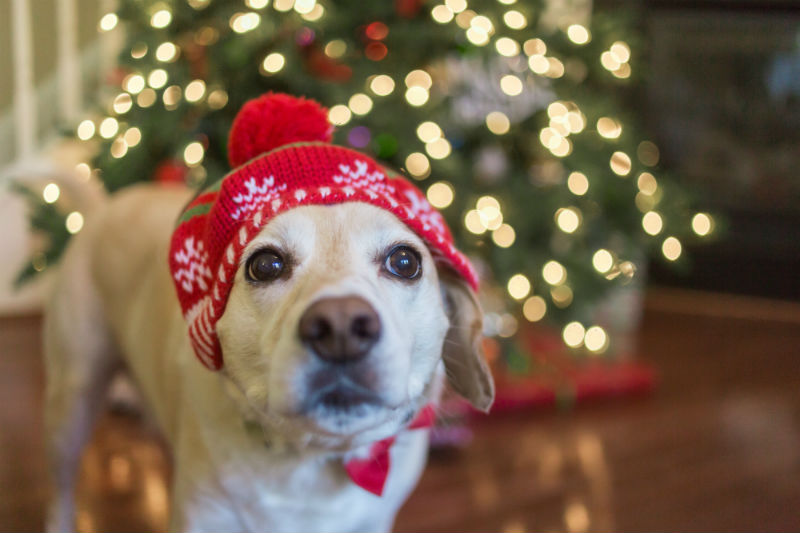 Dog With Xmas Touque